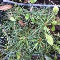 Как я выращивал кедры или кедроапокалипсис!