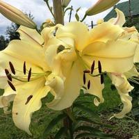 Лилия, которая завершает цветение лилий в сезоне.