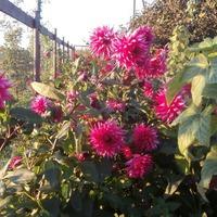 Цветок соединяющий лето с осенью.