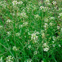 Пастушья сумка — сорняк и лекарство