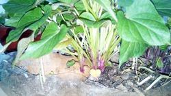 Батат. Выращивание рассады батата