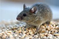 10 способов избавления от мышей в доме
