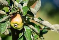 Уход за яблоней в молодом саду