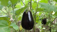 Баклажаны: подготовка и посев семян на рассаду
