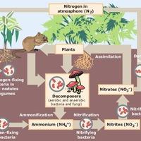Другая схема круговорота азота в природе