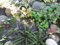 Папоротники в моем саду.