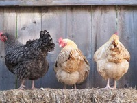 Куриный помет: польза или вред?