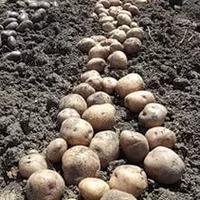 Выращиваем картофель в Воронежской области