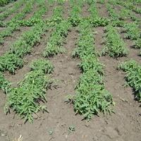 Как правильно вырастить рассаду в Воронежской области