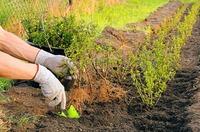Выбираем растения для изгороди