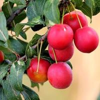 Алыча: условия для выращивания и размножения