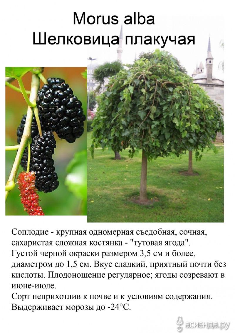 Шелковица дерево как сажать 47
