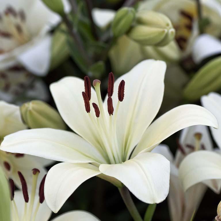 лилия белая комнатная