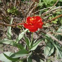 Что за сорт тюльпана?