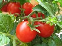 Когда и куда садим томат