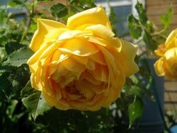Розы в Новгородской области