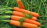 Выращиваем морковь