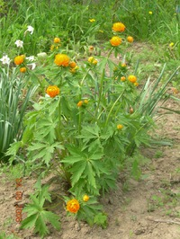 Полевые цветы в моём саду