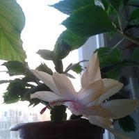 Цветет декабрист