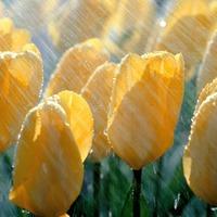 Желтые тюльпаны... и нарциссы)