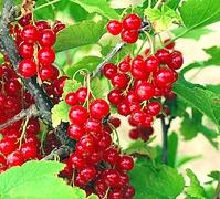 Красная смордина: особенности выращивания и уход