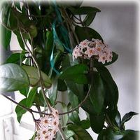 Хойя - цветок моего детства