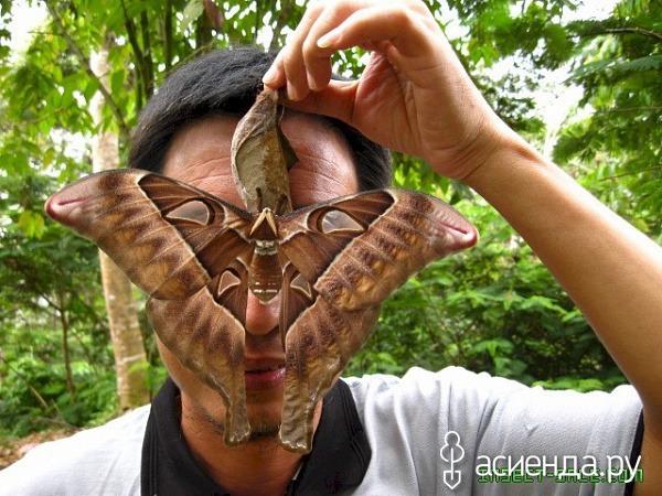 огромные гусеницы алтая фото