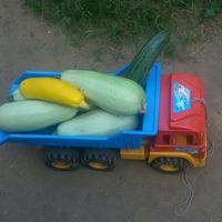 Сегодняшний урожай кабачков...