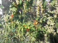 Выращивание помидор под виноградом