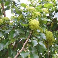 Маклюра. Как вырастить «адамово яблоко»?