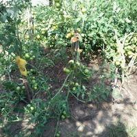 Мои многострадальные помидорки