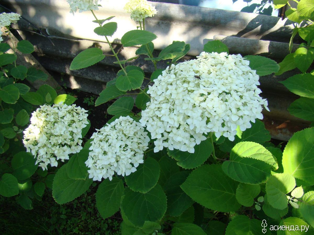 Бледные листья у гортензии