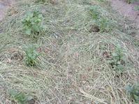 Солома в садово-огородных работах