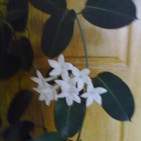 Стефанотис или мадагаскарский жасмин