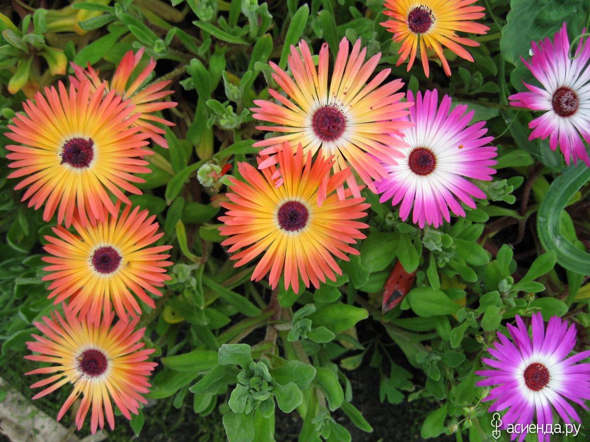 поручение мезембриантемум фото цветы фото цвет