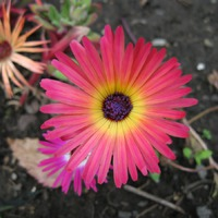 Доротеантус (мезембриантемум) – цветок от бога