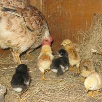 Мои первые цыплята
