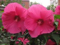 Гибискус – украшение вашего сада