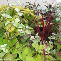 Клумбы в городе Тукумсе - 2014. Часть 1. (идеи сочетания растений в вазонах)