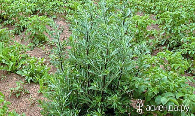 Полынь – трава женская