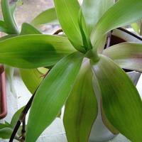 Исцеляющие комнатные растения. Часть 4
