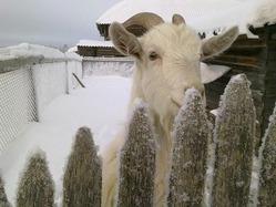 Содержание коз в зимний период