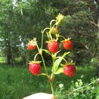 По ягоды, по ягоды, по ягоды пойдем...