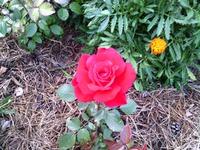 Розы. (Продолжение).