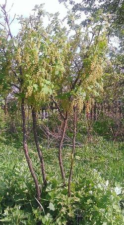 Деревце красной смородины.