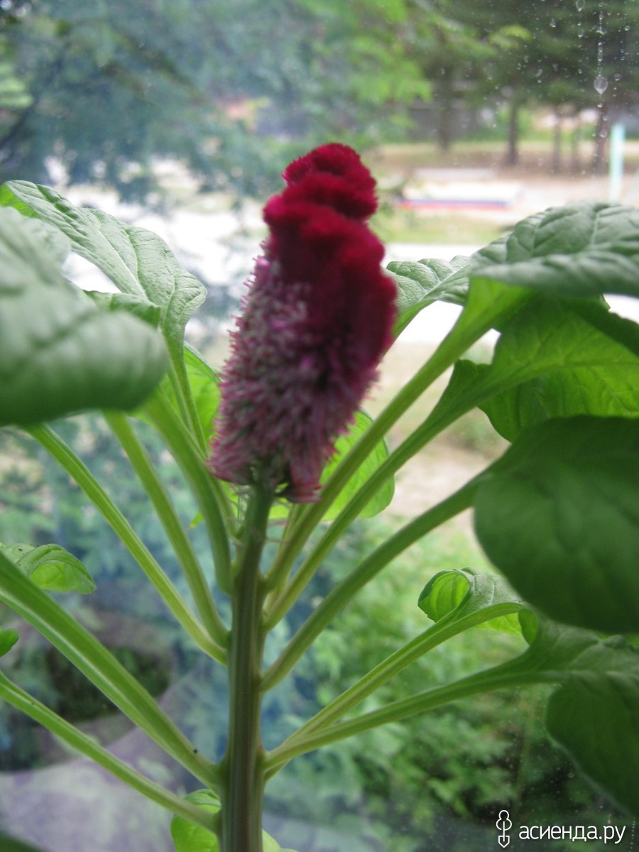 Комнатный цветок петушок фото