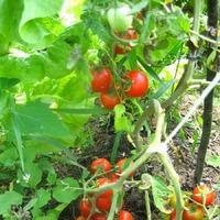 Дадагие помидоры. Мини отчет по заданию 6-ть и далее