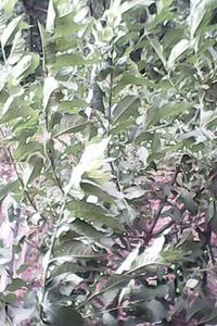 Прикольная глициния. Помогите определить, что это за растение.
