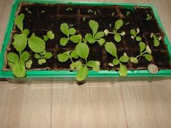 Поделитесь опытом по выращванию пекинской капусты.