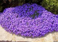 Цветочный ковер из родственницы капусты